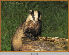 badger-43.jpg