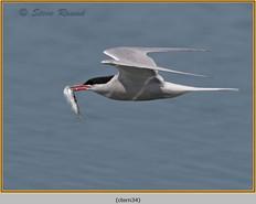 common-tern-34.jpg