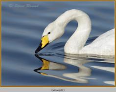 whooper-swan-21.jpg