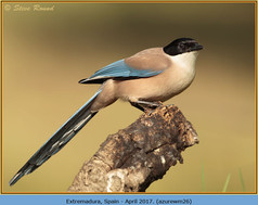 azure-winged-magpie-26.jpg