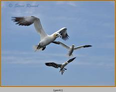 gannet-41.jpg