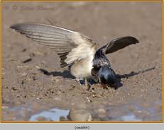 swallow-44.jpg