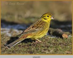 yellowhammer-42.jpg