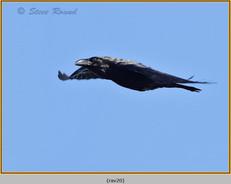raven-20.jpg