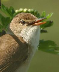 marsh-warbler-05.jpg
