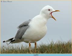 common-gull-43.jpg