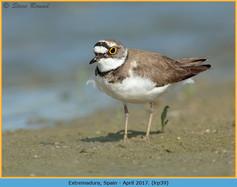 little-ringed-plover-39.jpg