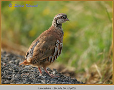 red-legged-partridge-05.jpg