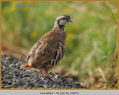 red-legged-partridge-05.jpg