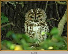 tawny-owl-25.jpg
