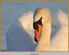 mute-swan-25.jpg