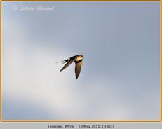 red-rumped-swallow-03.jpg