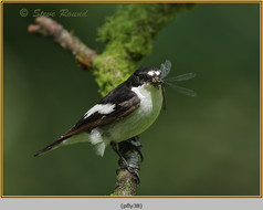 pied-flycatcher-38.jpg