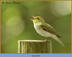 wood-warbler-59.jpg