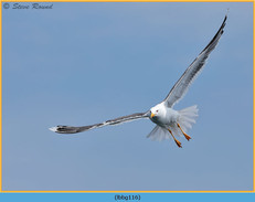 lesser-black-backed-gull-116.jpg