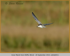 whiskered-tern-01.jpg