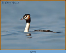 great-crested-grebe-56.jpg