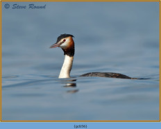 great-crested-grebe-56.jpg