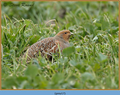 grey-partridge-17.jpg
