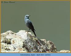 blue-rock-thrush-02.jpg