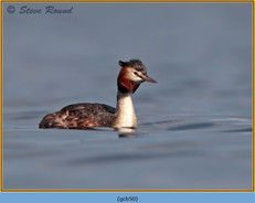 great-crested-grebe-50.jpg