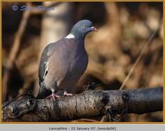 wood-pigeon-06.jpg