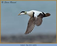 eider-duck- 95.jpg