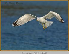 yellow-legged-gull-15.jpg