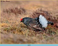 black-grouse- 99.jpg