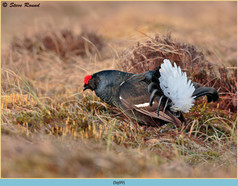 black-grouse- 99.jpg