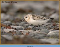 sanderling-49.jpg