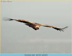 griffon-vulture-79.jpg