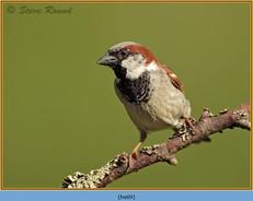 house-sparrow-69.jpg