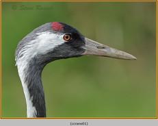 common-crane-01c.jpg