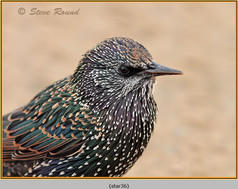 starling-36.jpg