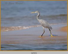 western-reef-heron-01.jpg
