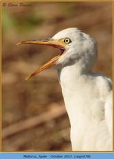 cattle-egret-78.jpg