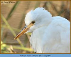 cattle-egret-76.jpg