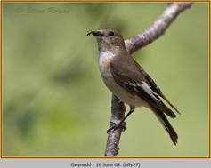 pied-flycatcher-27.jpg