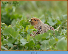 grey-partridge-16.jpg