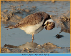 little-ringed-plover-47.jpg