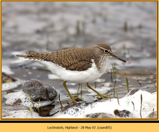 common-sandpiper-05.jpg