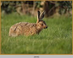 brown-hare-50.jpg