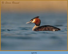 great-crested-grebe-70.jpg