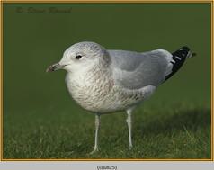 common-gull-25.jpg
