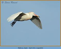 cattle-egret-65.jpg