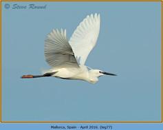little-egret-77.jpg