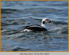 long-tailed-duck-09.jpg