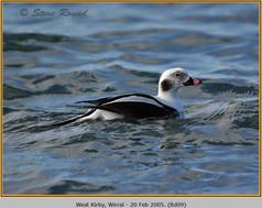 long-tailed-duck-09.jpg