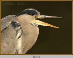 grey-heron-37.jpg